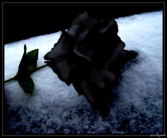 http://n0thing.cowblog.fr/images/BlackRoseImmortalbyDouceAgonie.jpg